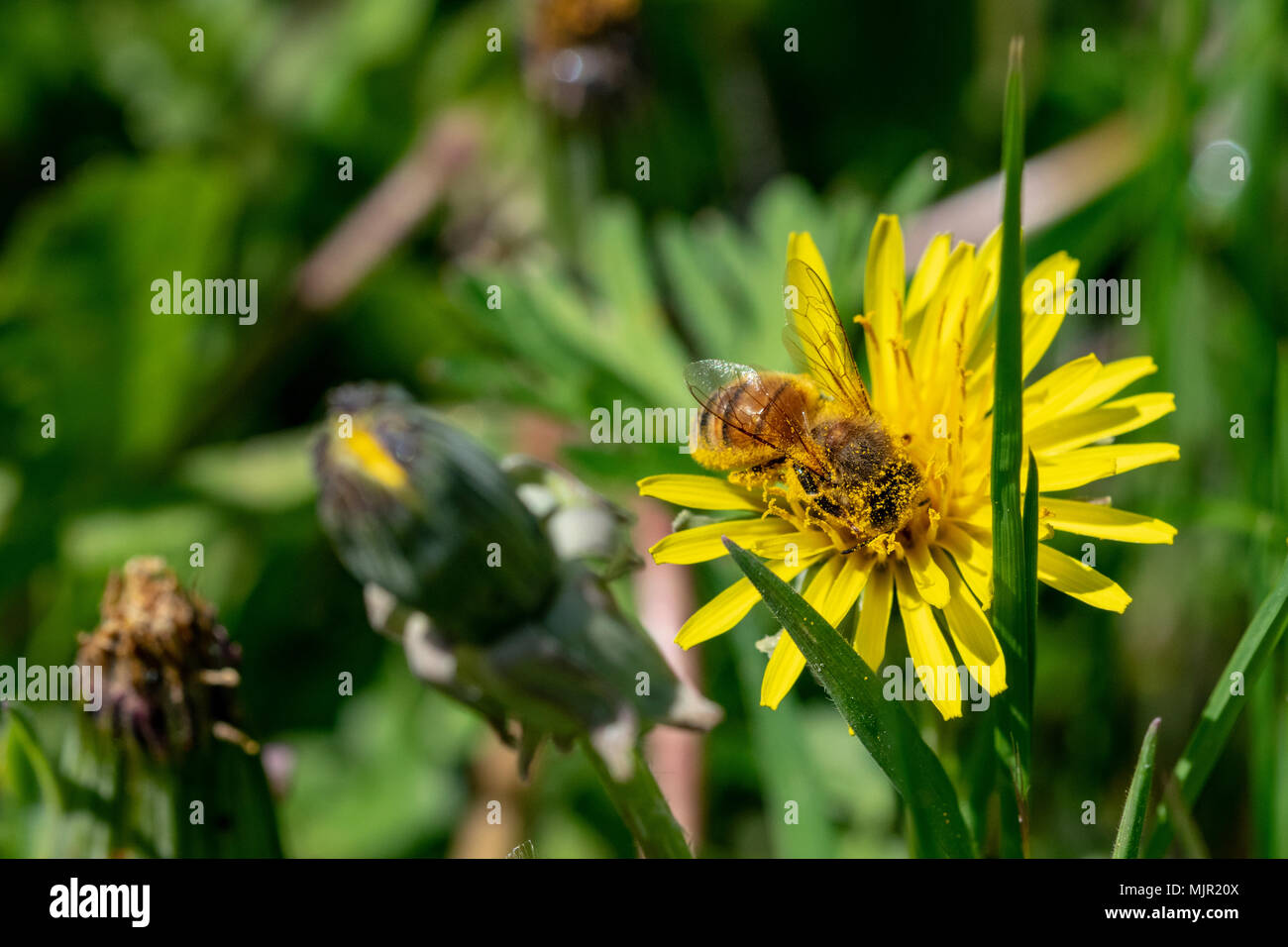 Ware hertfordshire uk saturday 5th may 2018 hot spring bank hot spring bank holiday with fields of wild flowers and honey bees collect nectar pollen from dandelions credit andi edwardsalamy live news mightylinksfo