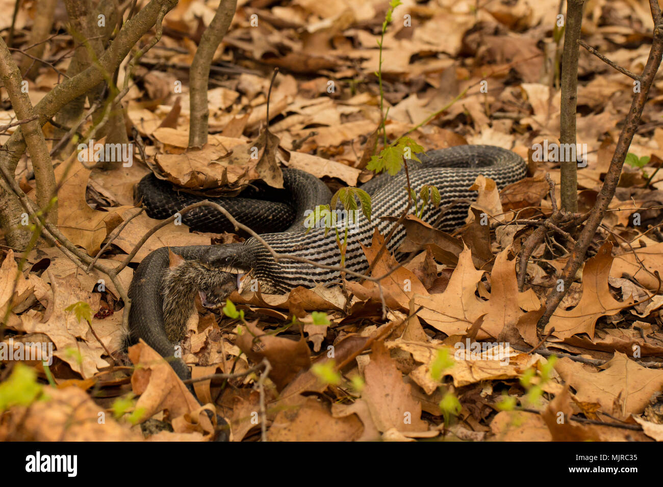 Black rat snake swallowing gray squirrel whole - Pantherophis alleghaniensis - Stock Image