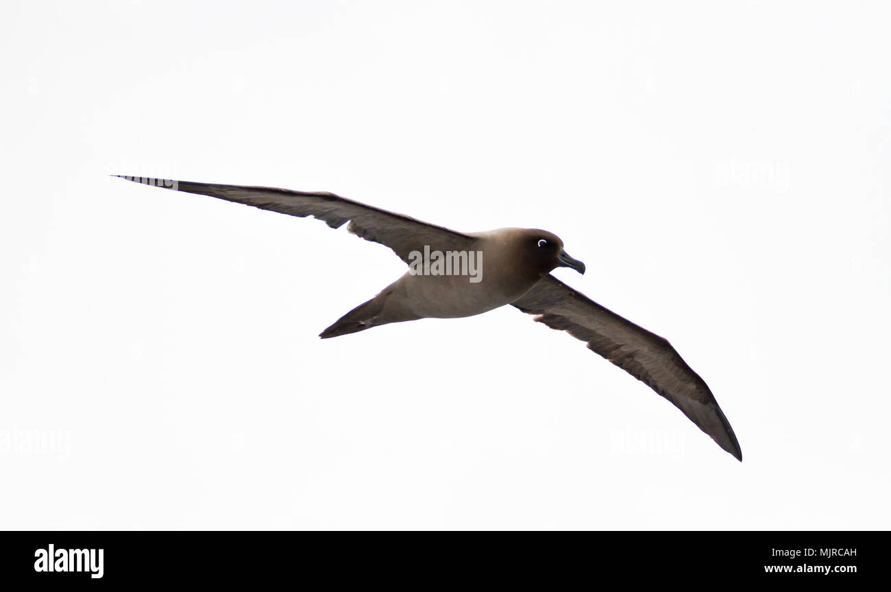Light-mantled Sooty Albatross (Phoebetria palpebrata) in flight against a white cloudy sky, Drake Passage on the way to Antarctica - Stock Image