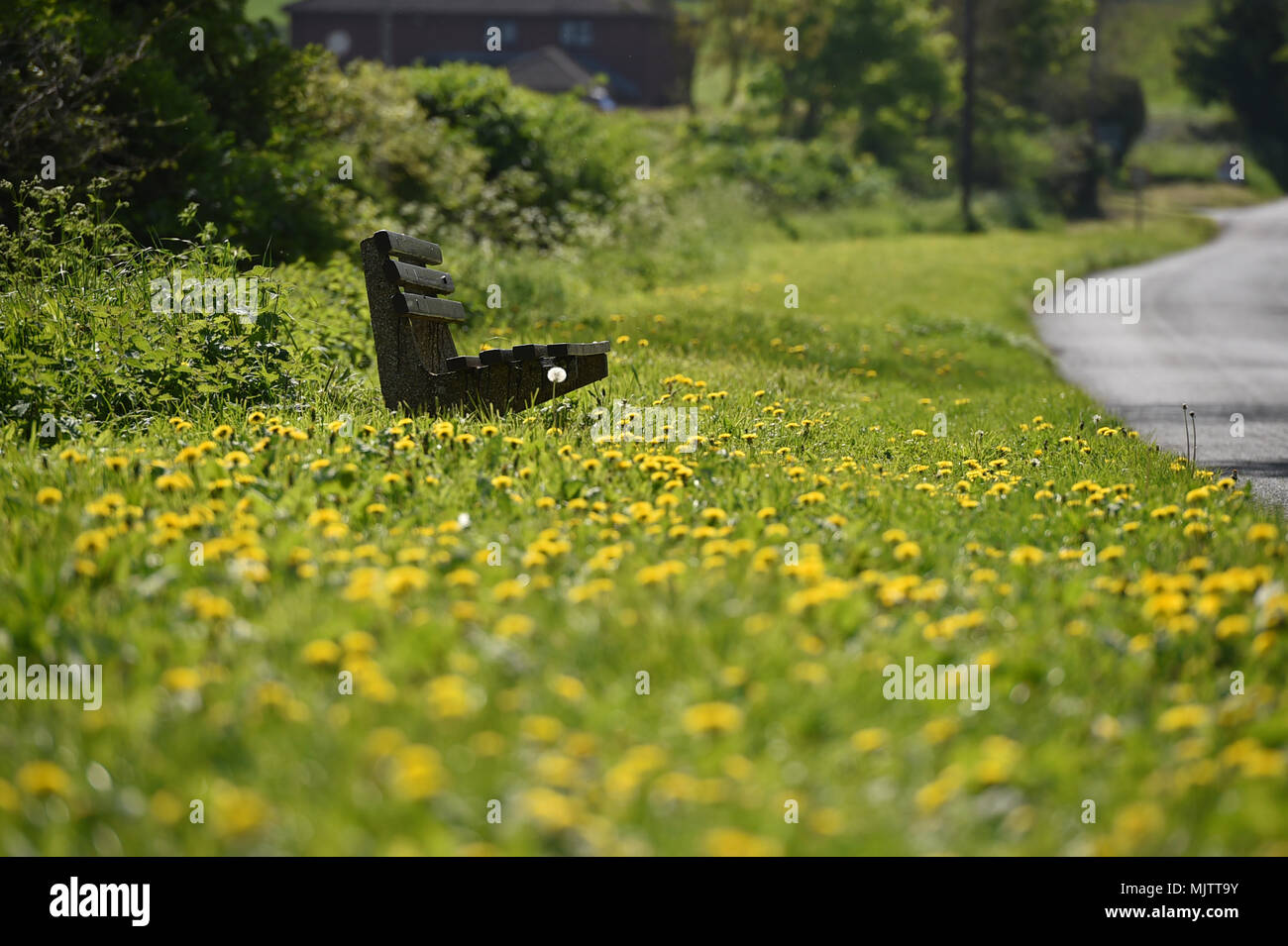 Bench surrounded by Yellow dandelions in the Wiltshire village of Edington during the may bank holiday weekend - Stock Image