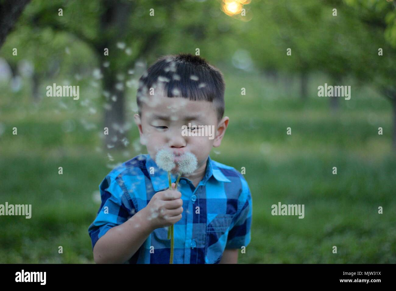 Yakima, Washington / USA - April 17, 2016:  Young Korean boy blows dandelion seeds in Johnson's Orchards during a late springtime evening. Stock Photo