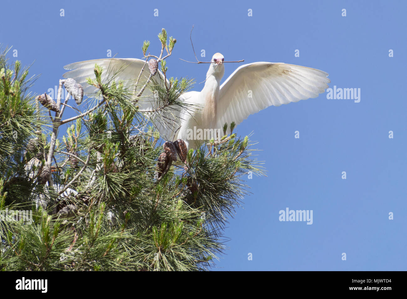 cattle egret carrying nesting material back to the nursery tree - Stock Image
