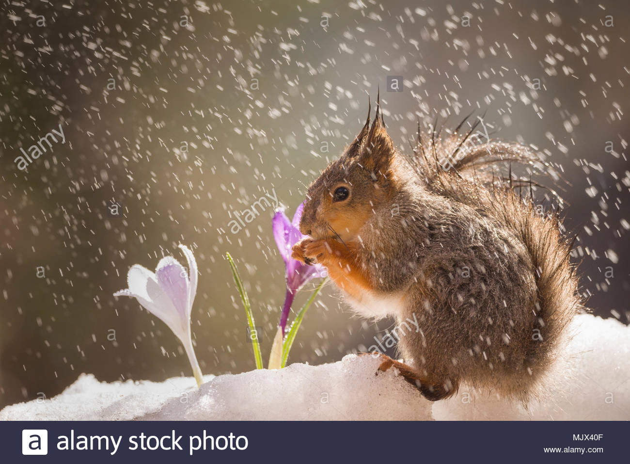 red squirrel on the snow with crocus in rain - Stock Image