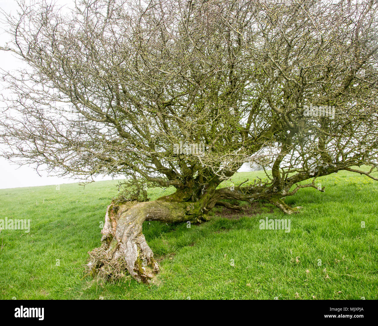 Twisted misshaped hawthorn tree bent over by wind on top of chalk down grassland, Vale of Pewsey, Wiltshire, England, Uk - Stock Image