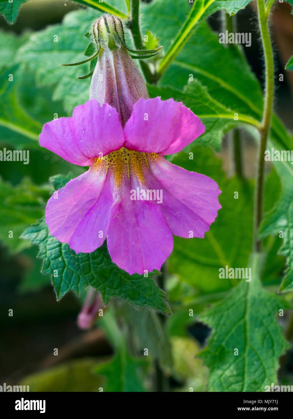 Rehmannia elata Chinese foxglove - Stock Image