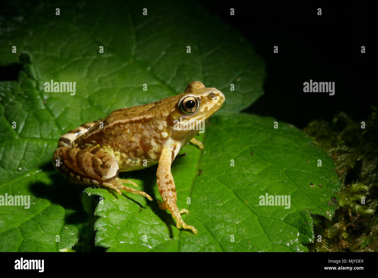 A common frog Rana temporaria photographed in Dorset England UK. - Stock Image