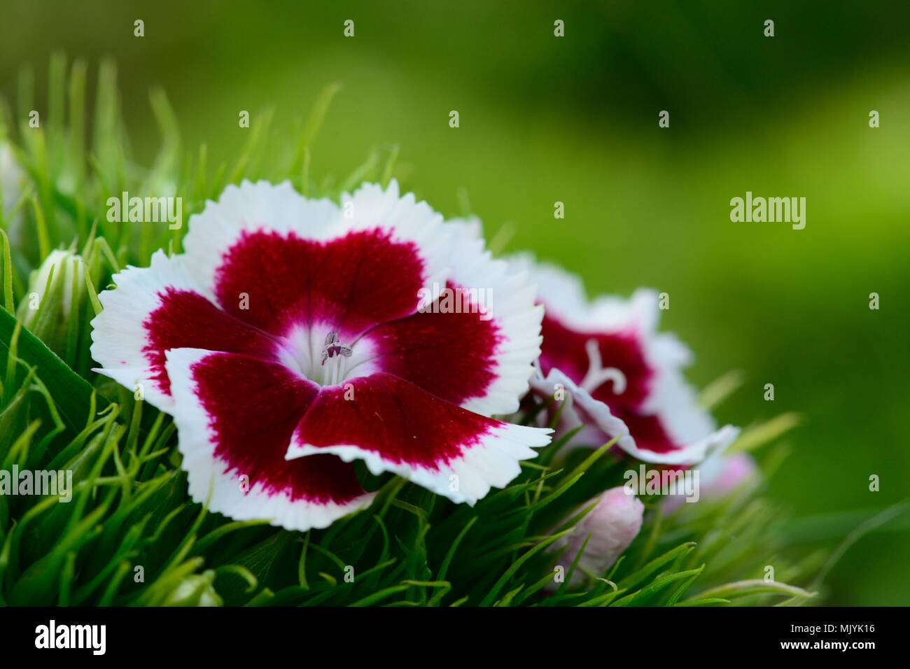 Close up of red and white carnations in bloom (Dianthus barbatus) - Stock Image