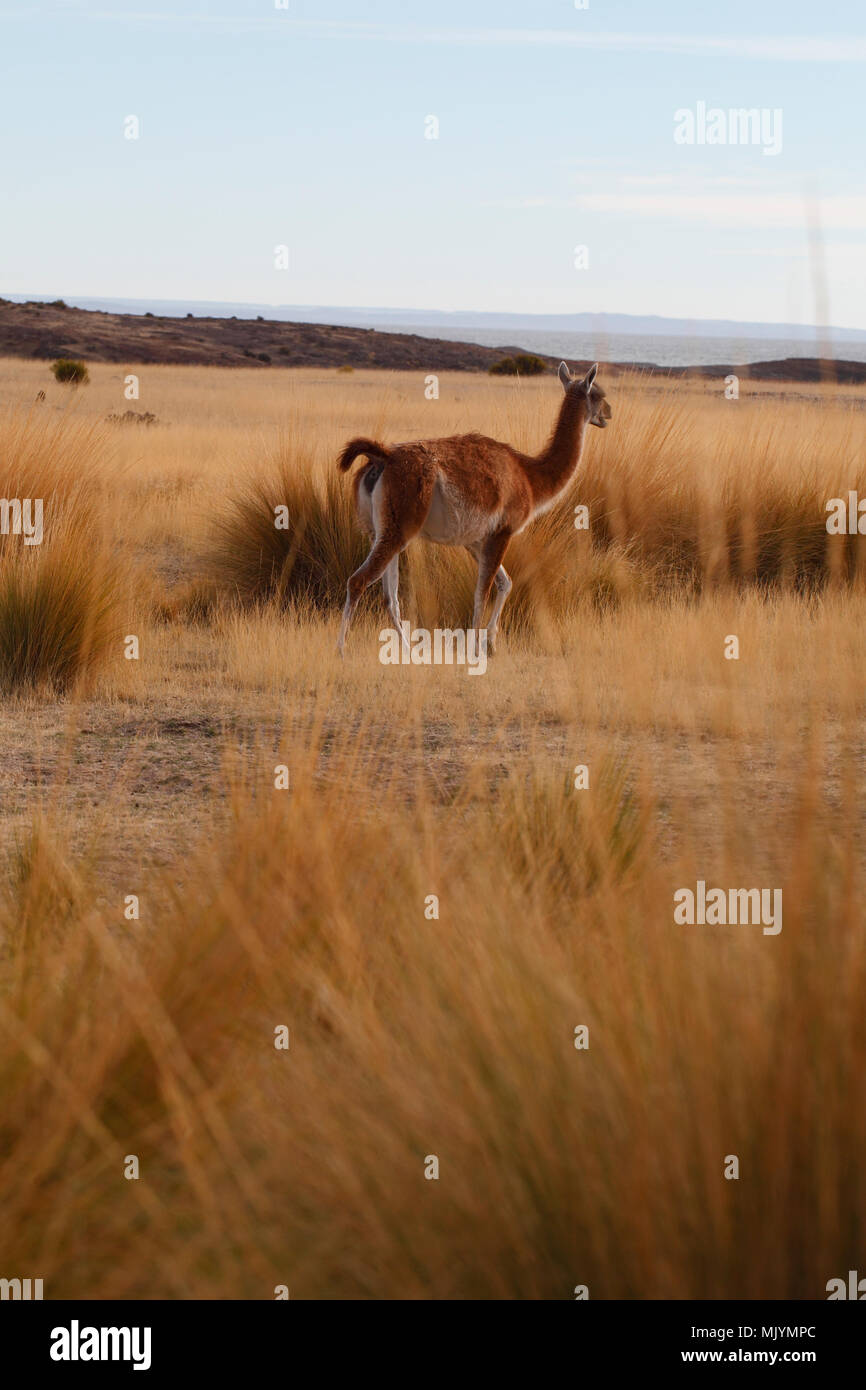 Guanaco amongst the pampas grass. Cabo dos bahias, Patagonia. Tail raised in alarm. - Stock Image