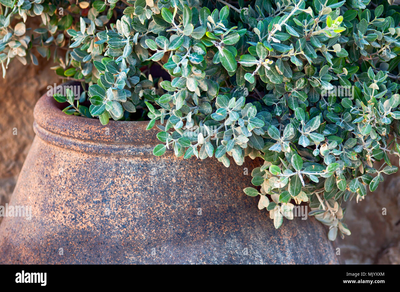 Green plant in stone pot. Close-up. - Stock Image