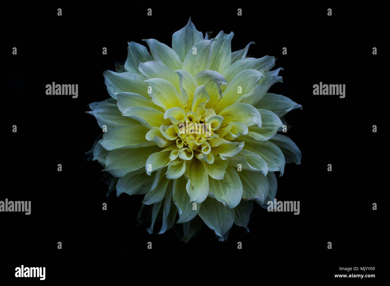 Blue Dahlia Flower White Background Stock Photos Blue Dahlia