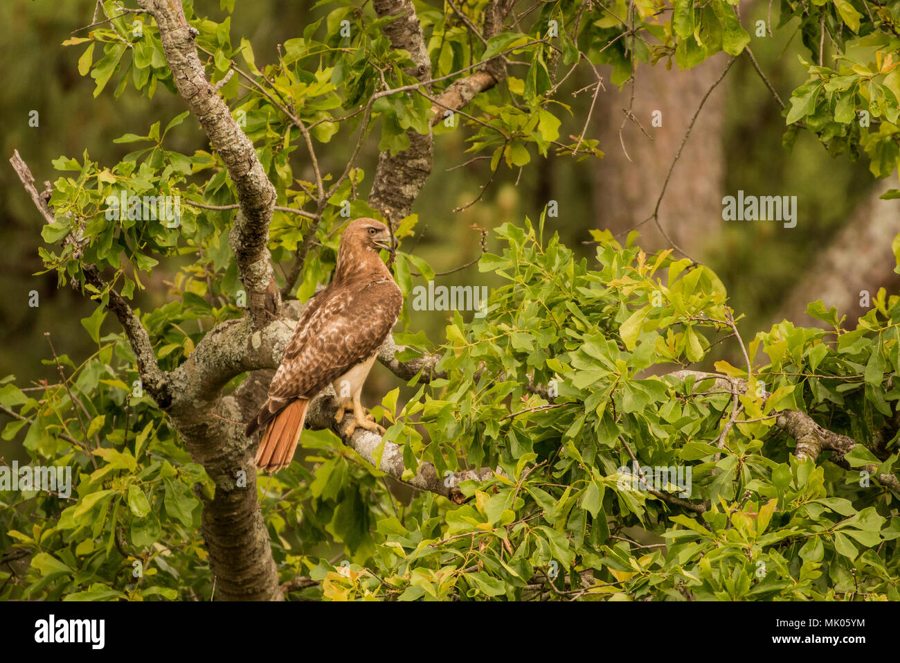 A red tailed hawk (Buteo jamaicensis) sitting in the tree tops holding a stick that it will later use to construct its nest. - Stock Image