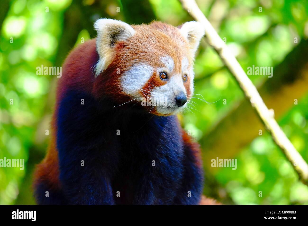 Red panda, a small Asian bear, climbed on a tree - Stock Image