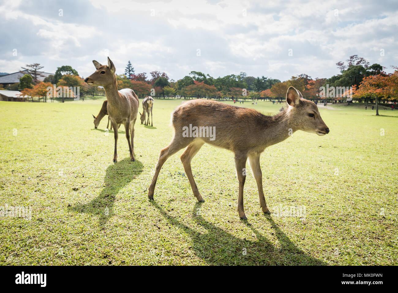 Deers at Nara park in Japan - Stock Image