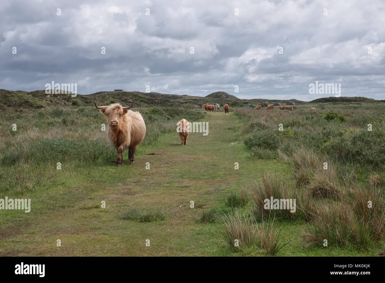 Illustration shows Scottish Highland cow and calf in the Dunes of Texel, Monday 16 May 2016, Texel, the Netherlands. - Stock Image