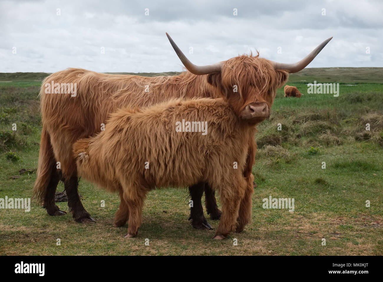 Illustration shows Scottish Highland cow and calf in the Dunes of Texel, the Netherlands. - Stock Image