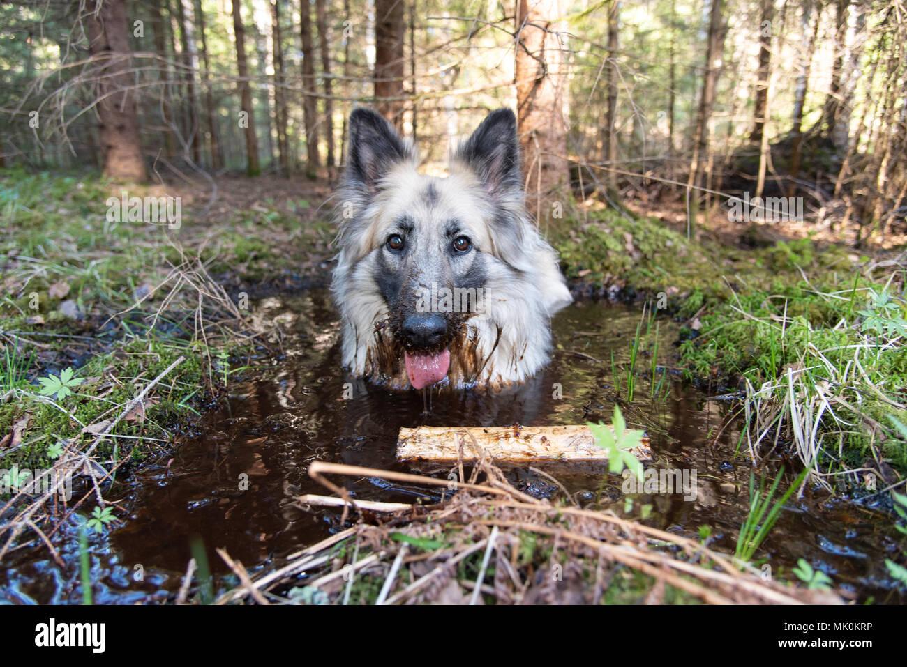 german shepherd taking a bath in a swedish forest - Stock Image