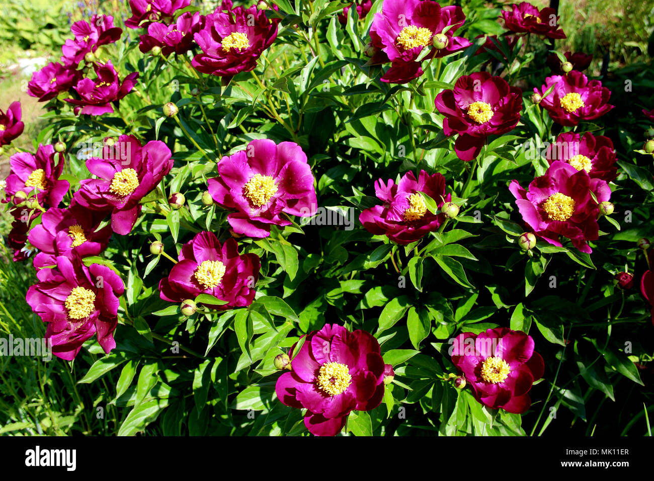 View above on the group of red flowers with yellow cores on green leaves background - Stock Image