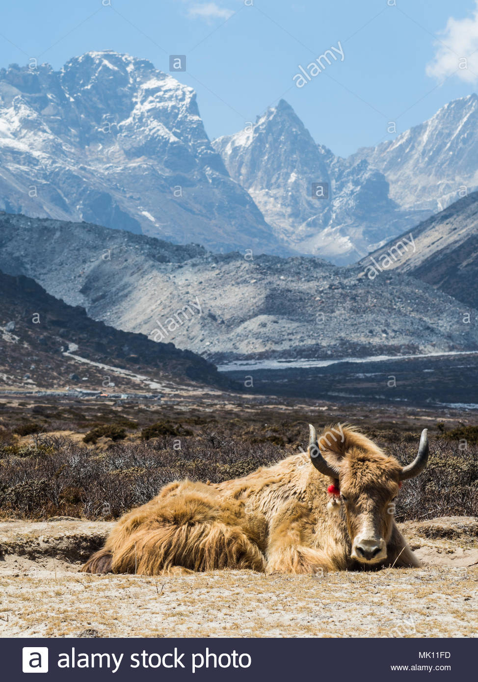 Resting bull yak photo, domestic farm animal, carrying luggage in village, rural life and beautiful nature, peaceful summer scene on trekking path to  - Stock Image