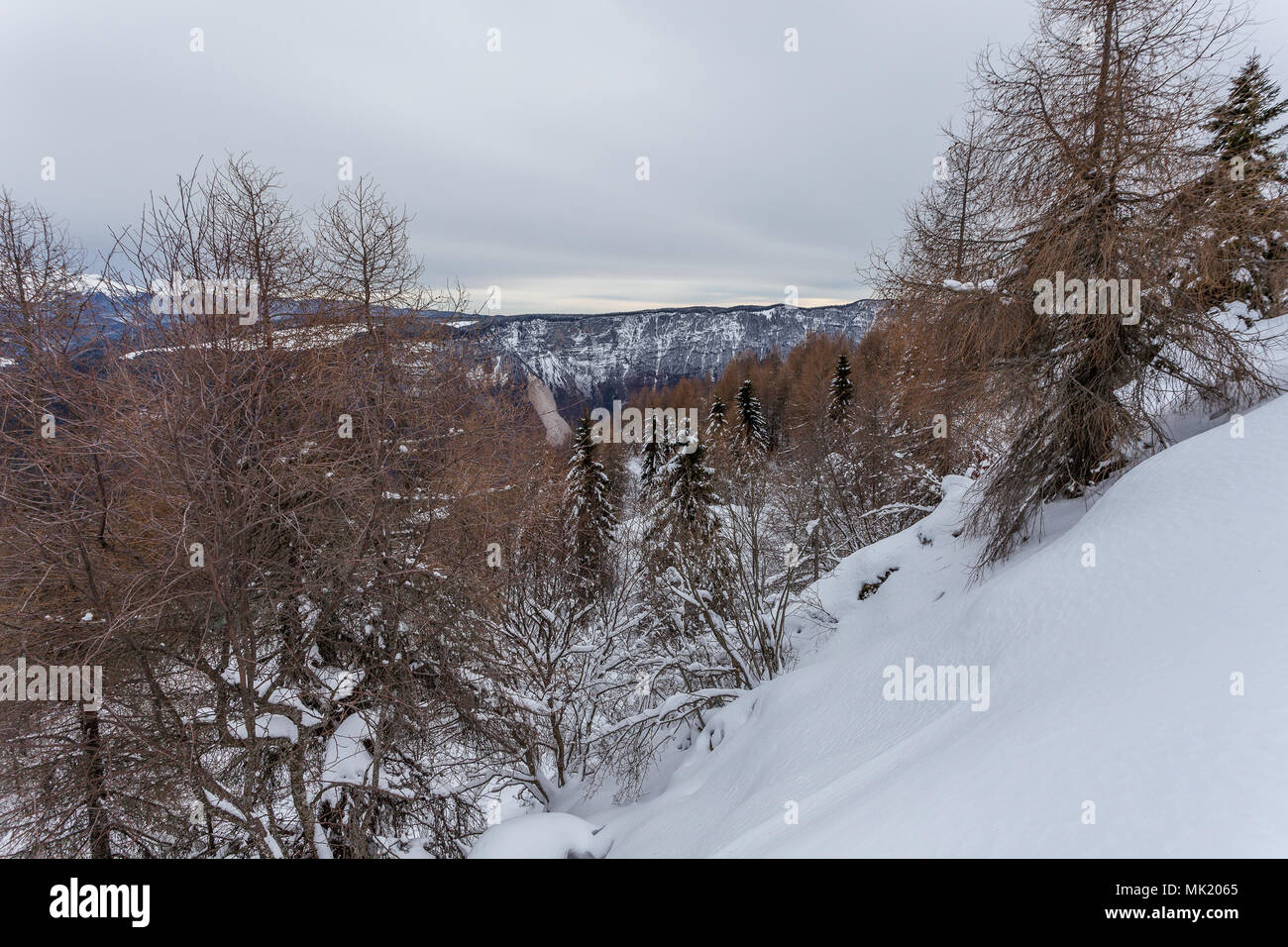 Larches and spruces on a snowy slope on a gray day, Belluno, Veneto, Italy - Stock Image