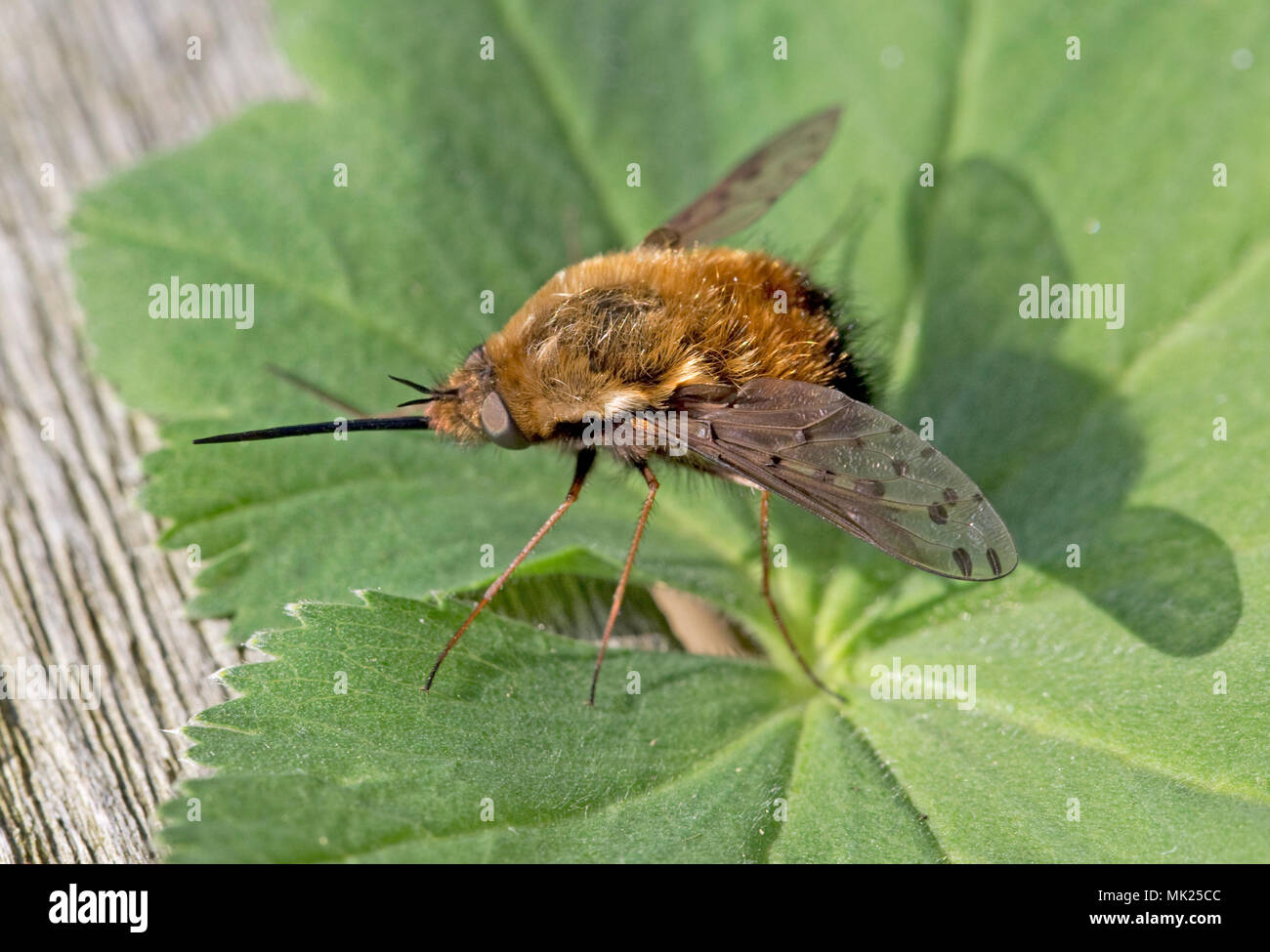 Dotted beefly with long proboscis resting on leaf Cotswolds UK - Stock Image