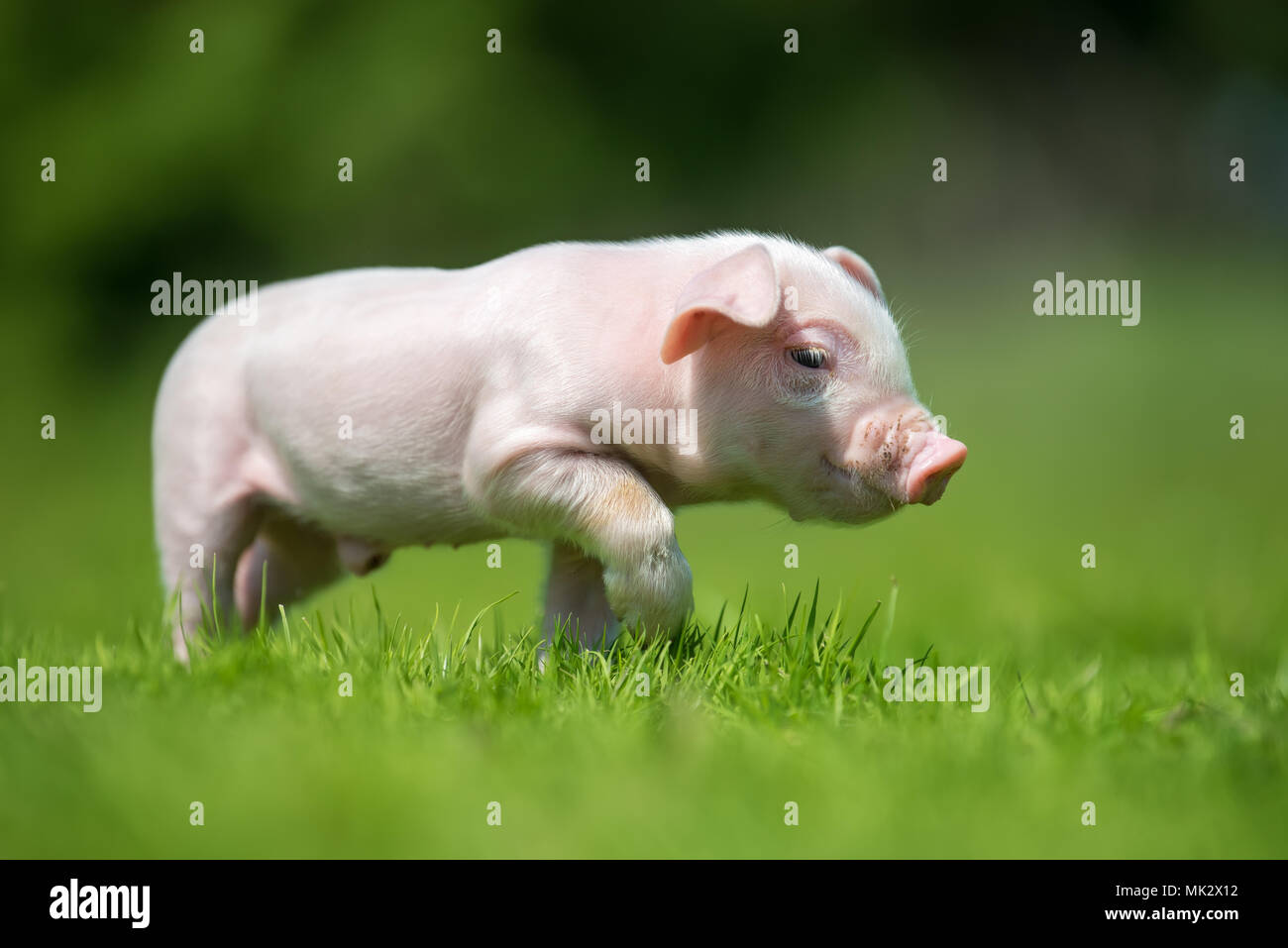 Newborn piglet on spring green grass on a farm Stock Photo