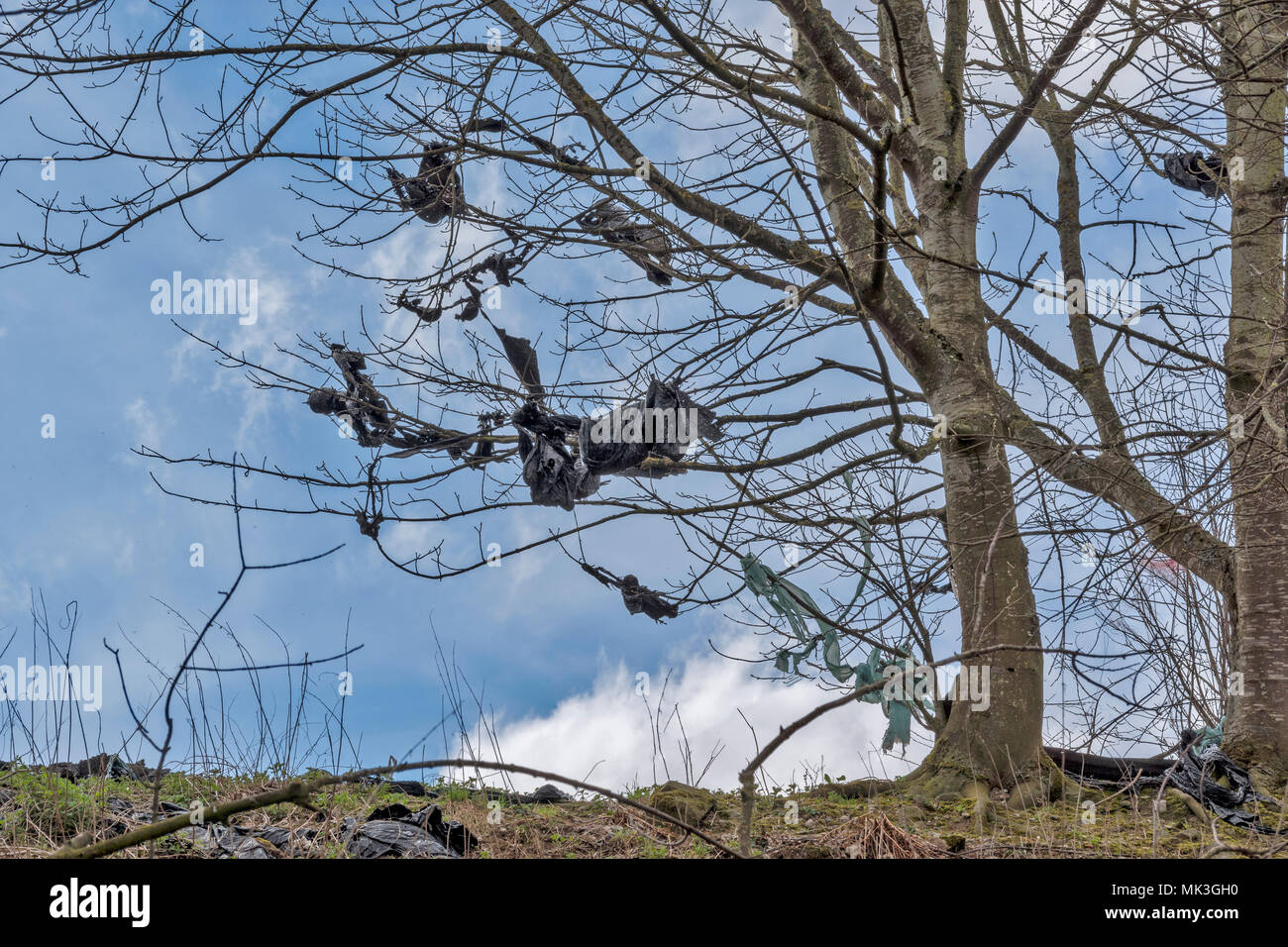 PLASTIC WRAPPERS FROM FARM BALES OF SILEAGE TORN BY WIND AND CAUGHT IN TREES - Stock Image