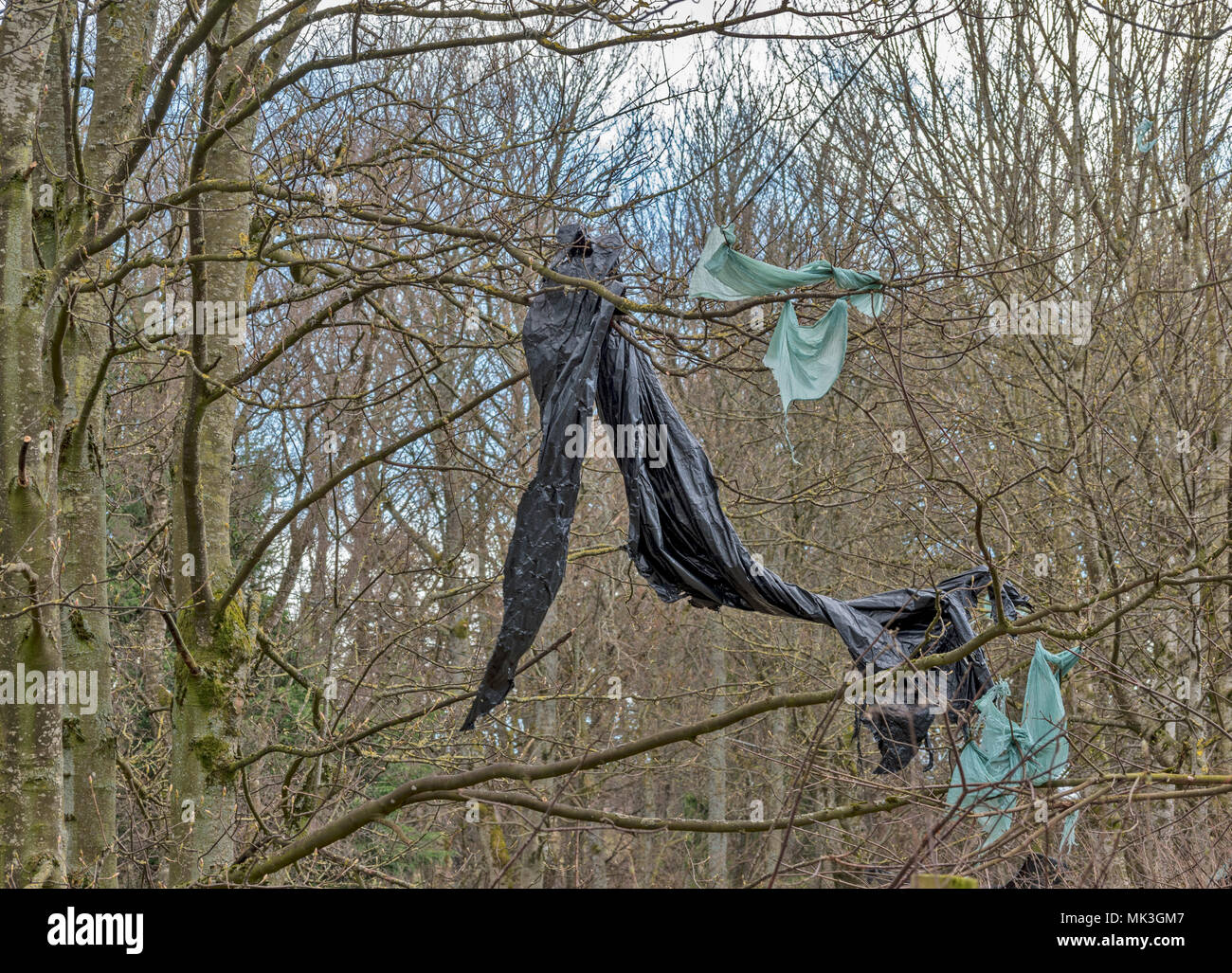 PLASTIC WRAPPERS FROM FARM BALES OF SILEAGE TORN BY WIND AND SUSPENDED IN TREES - Stock Image
