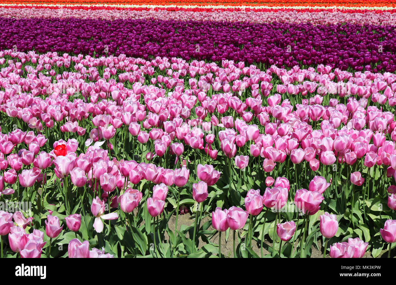 Tulips growing in a field during the Skagit Valley Tulip Festival in Mount Vernon, WA, USA.  One red tulip is in the midst of the pink tulips in the f Stock Photo