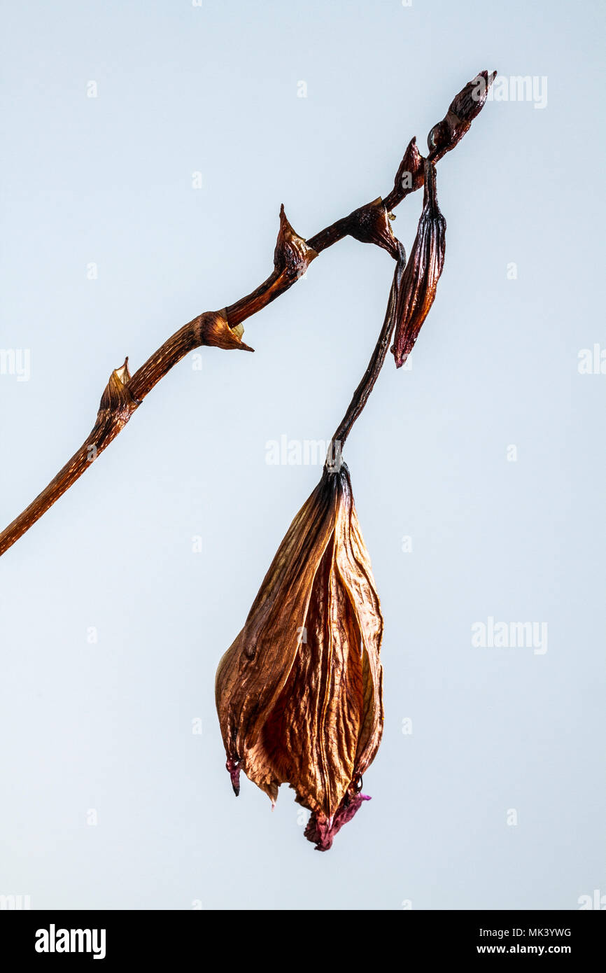 Dying bamboo orchid (Arundina graminifolia). - Stock Image