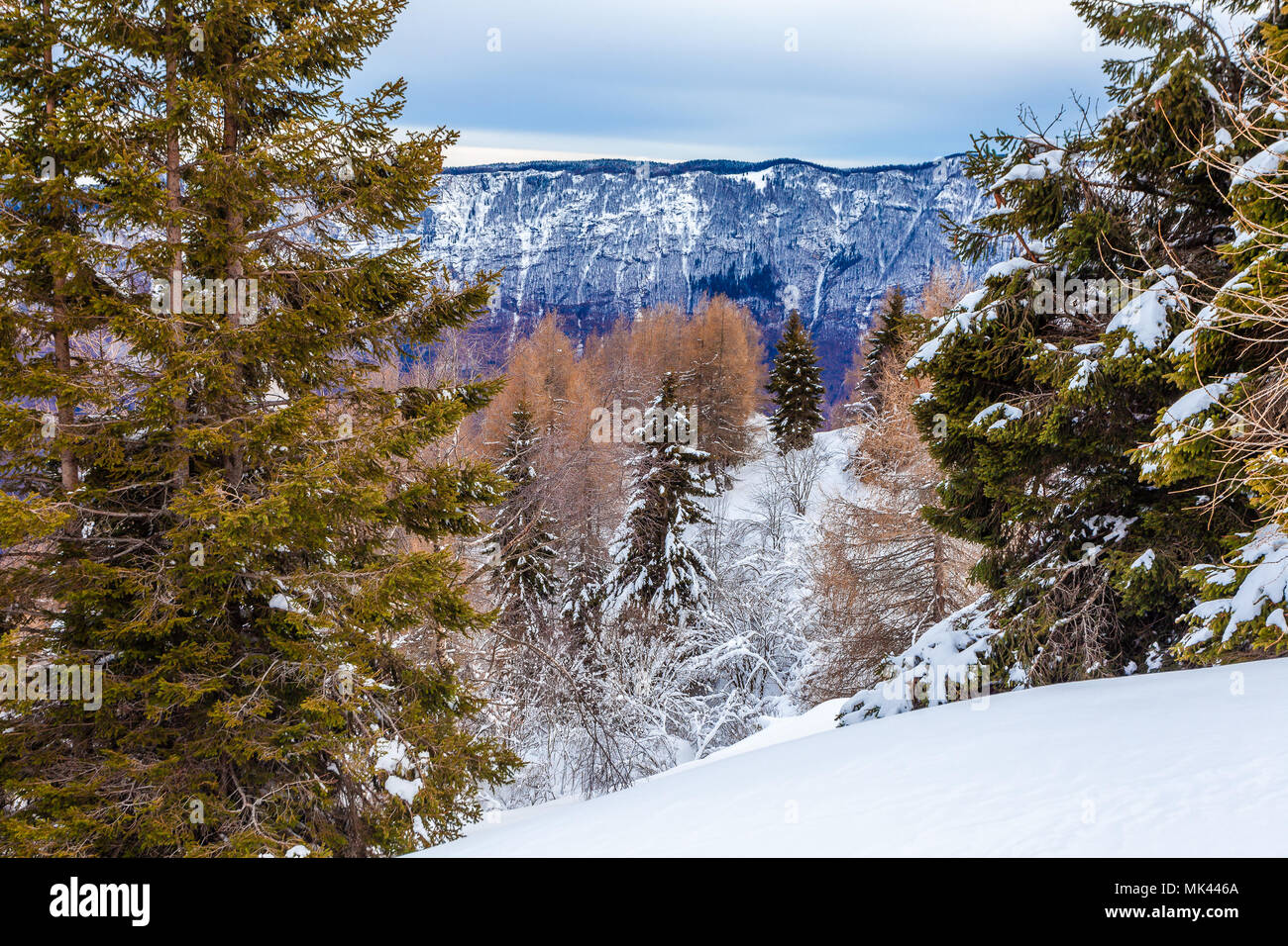Larches and spruces forest on a snowy slope, Col Visentin, Belluno, Veneto, Italy - Stock Image