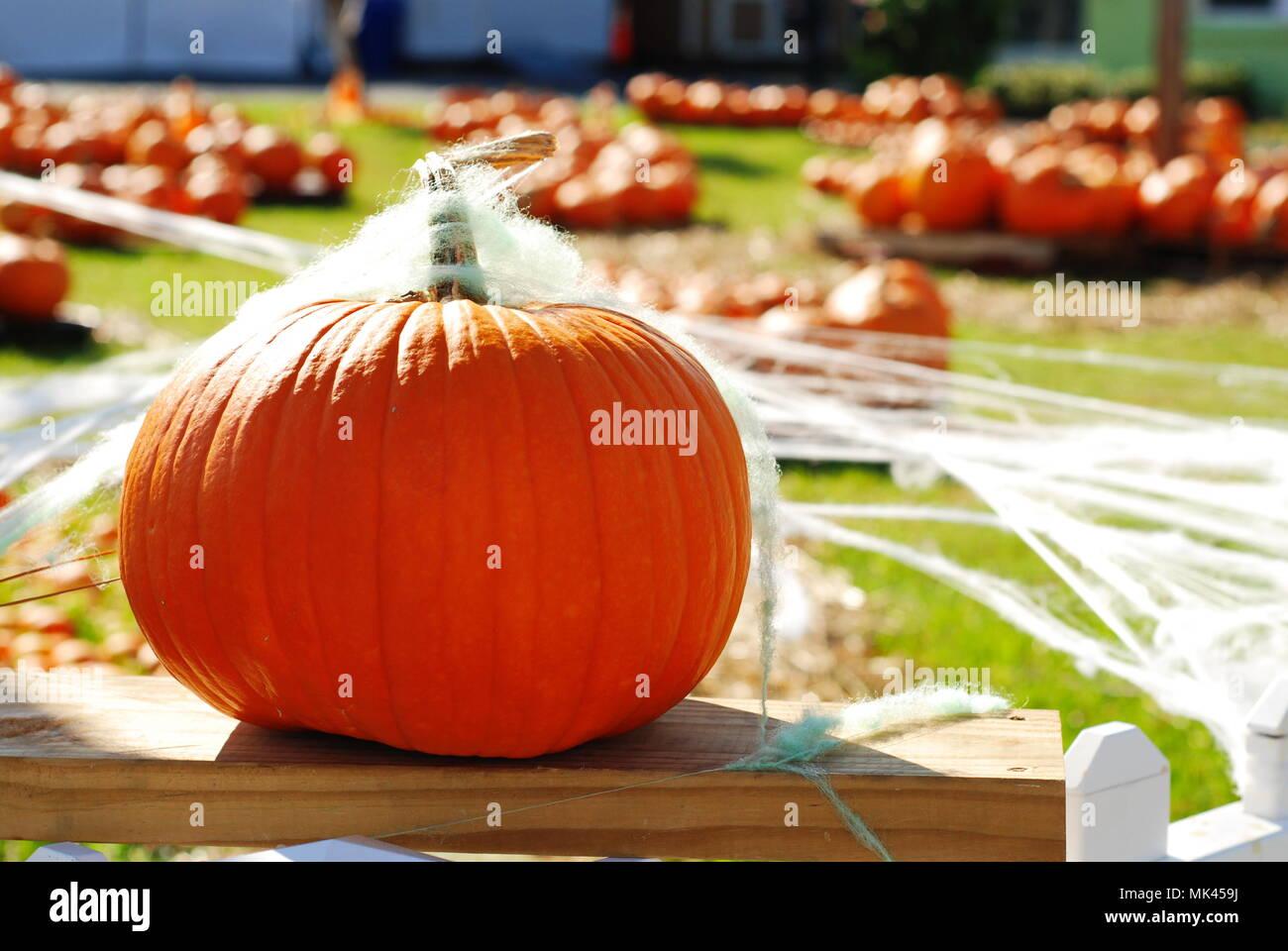 Halloween Pumpkin Patch - Stock Image