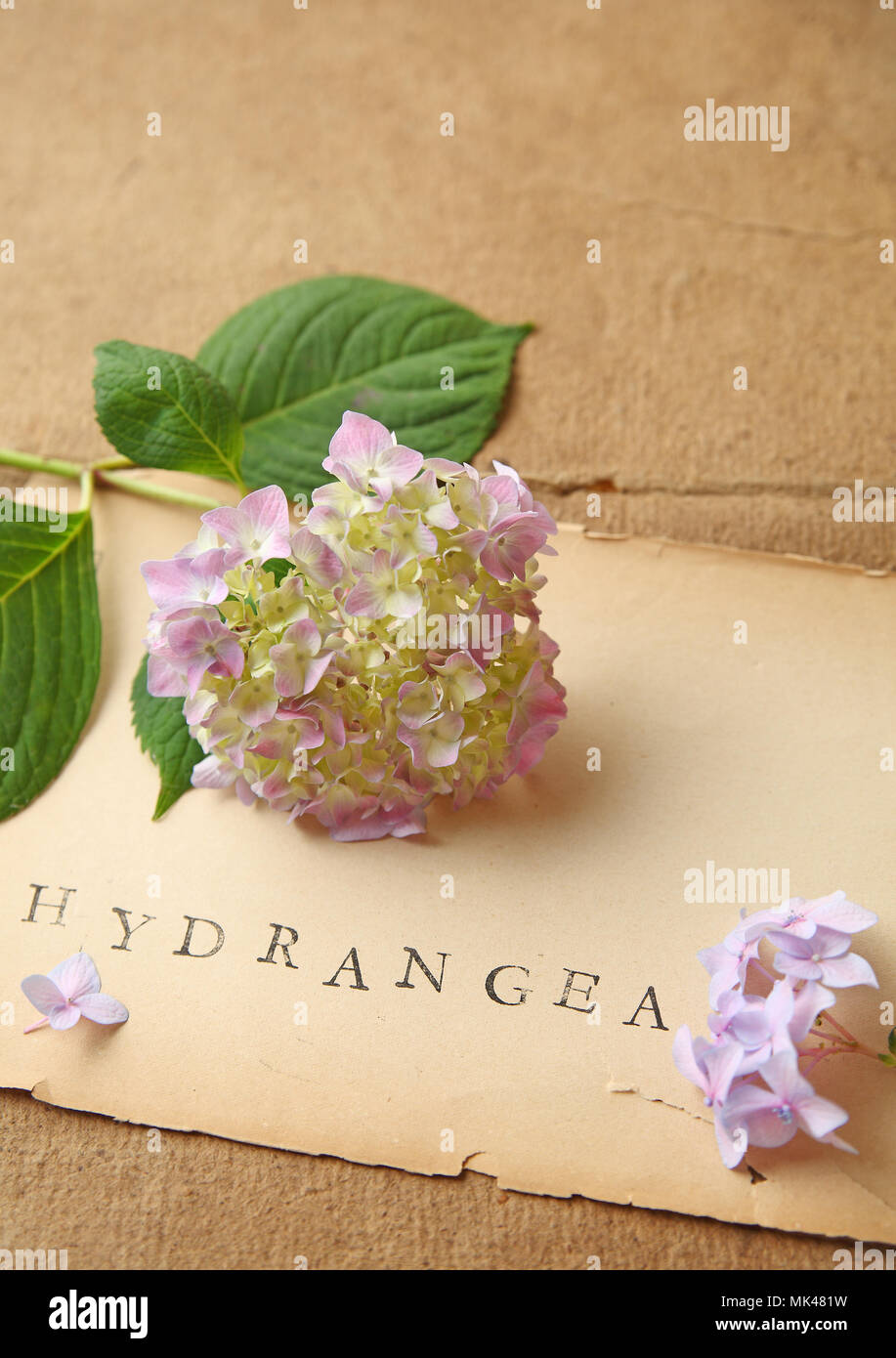 Fresh hydrangea flowers and stamped word on vintage book pages and cover textures with room for additional text - Stock Image