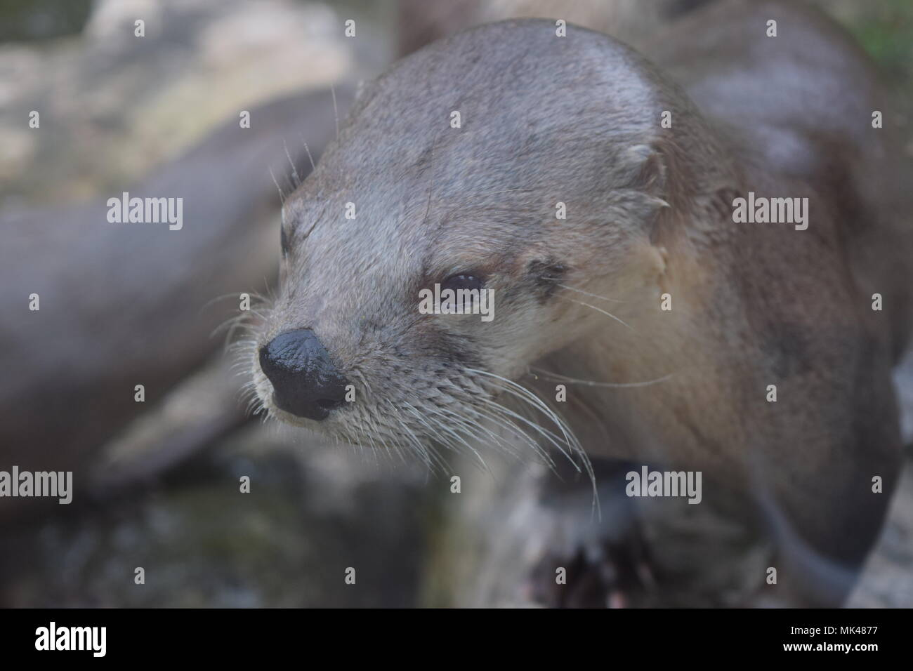 Otter family on side of the water - Stock Image