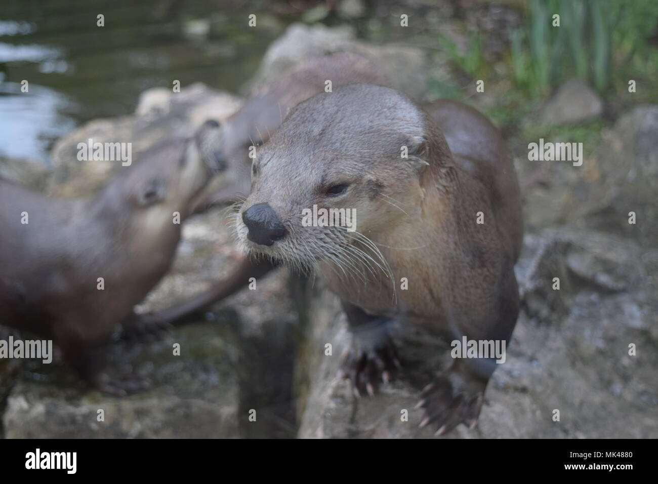 Otter family on the bank of water - Stock Image