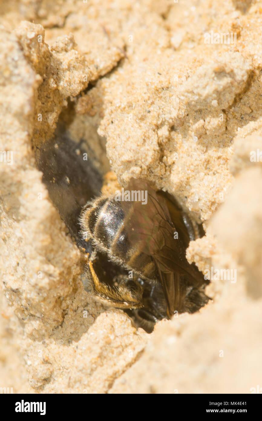Andrena mining bee on sandy heathland at Decoy Heath, Berkshire, UK - Stock Image