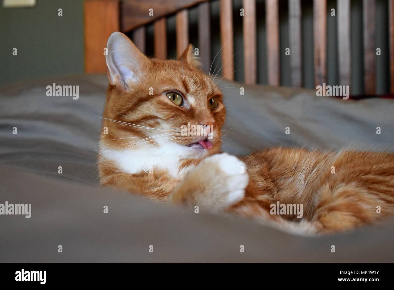 Cat licking - Stock Image