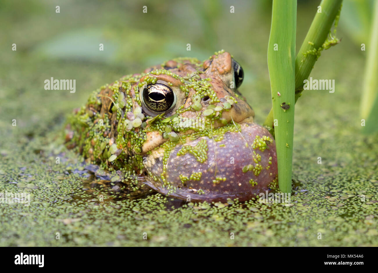 Male American toad (Anaxyrus americanus) calling sac inflated, covered with duckweed, Iowa, USA. - Stock Image