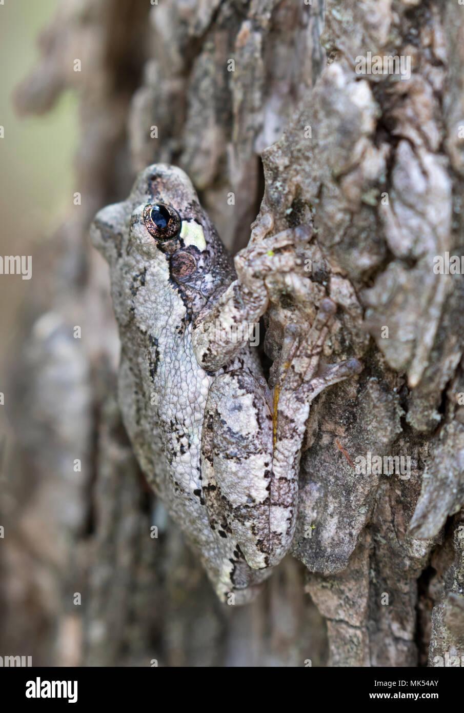 Gray treefrog (Hyla versicolor) camouflaging on the bark of elm tree, Iowa, USA. - Stock Image