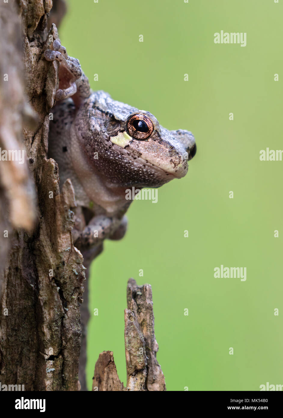 Gray treefrog (Hyla versicolor) looking out from a tree, Iowa, USA. Stock Photo