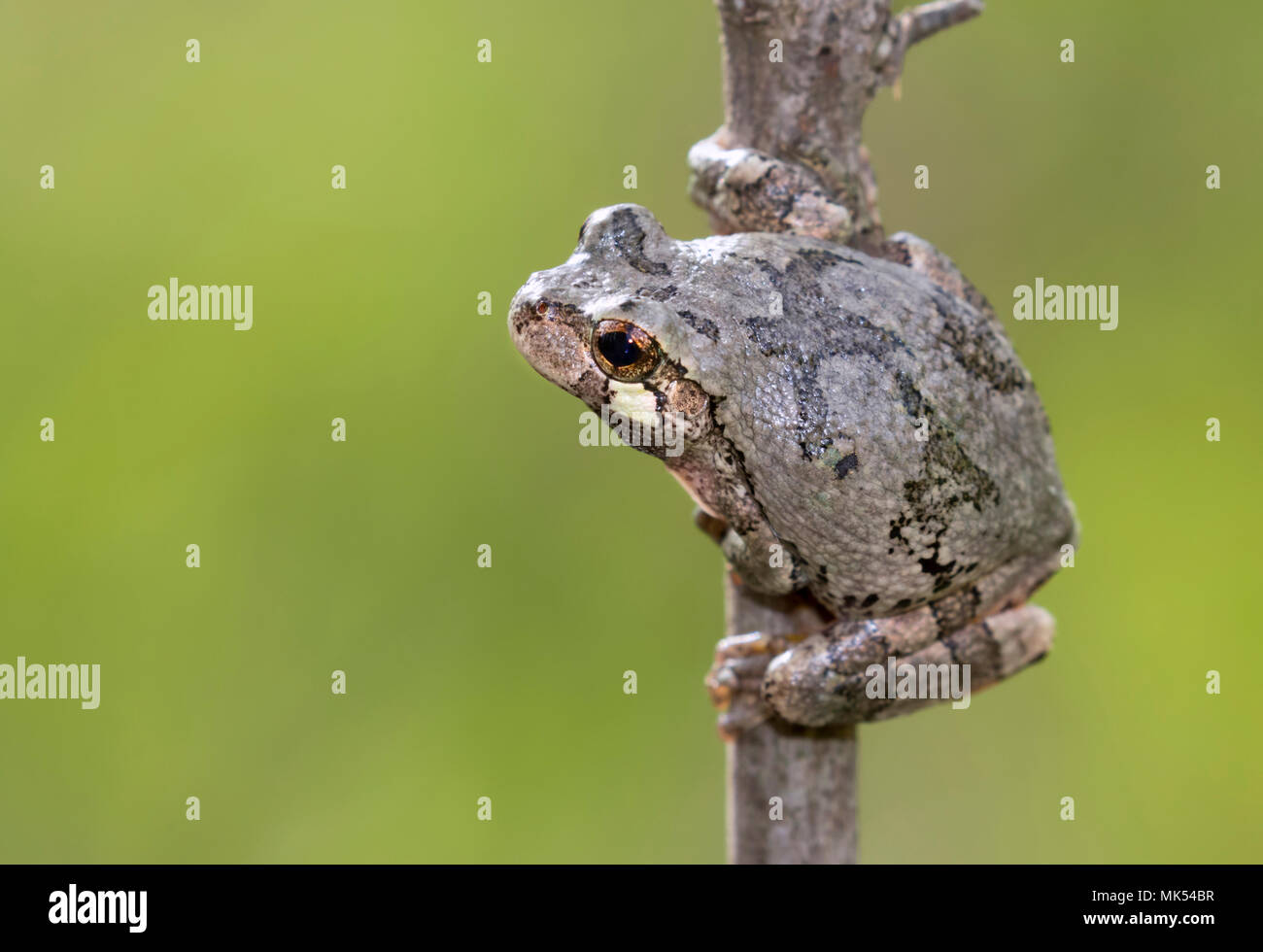 Gray treefrog (Hyla versicolor) on a tree branch, Iowa, USA. - Stock Image