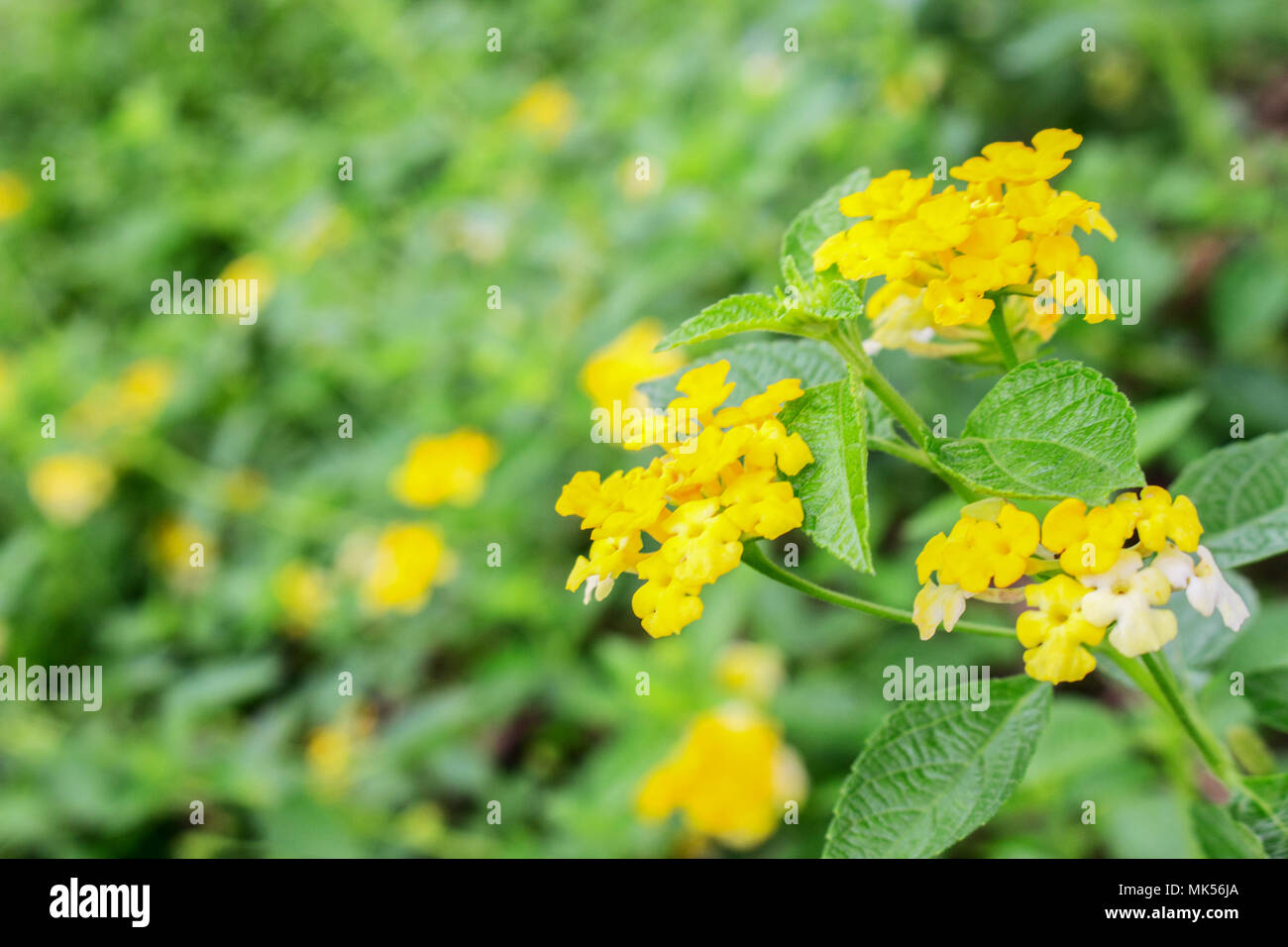 Group of Yellow Lantana Camara Flowers on Tree Stock Photo