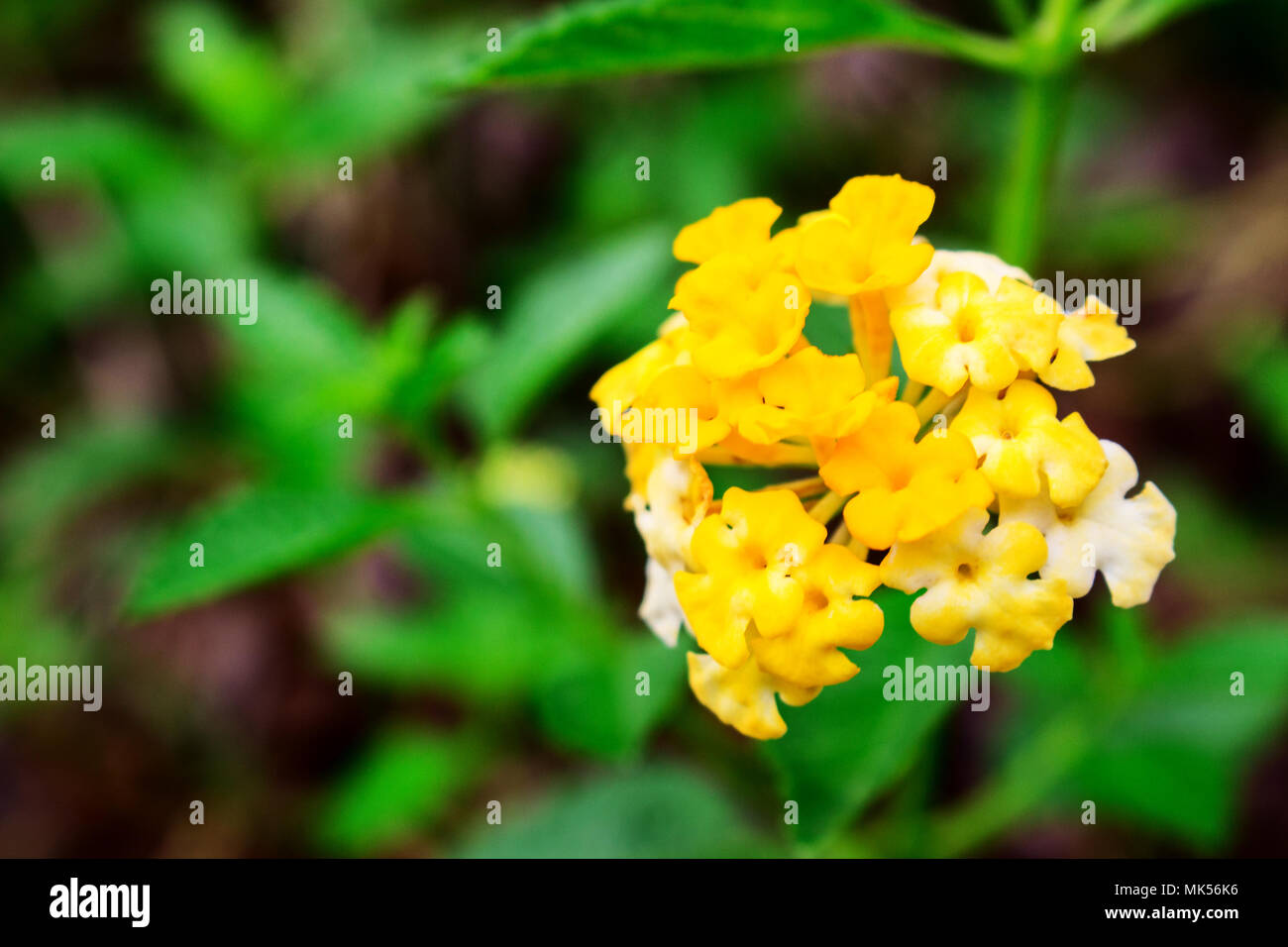 Close Up of Yellow Lantana Camara Flowers With Green Leafs Stock Photo