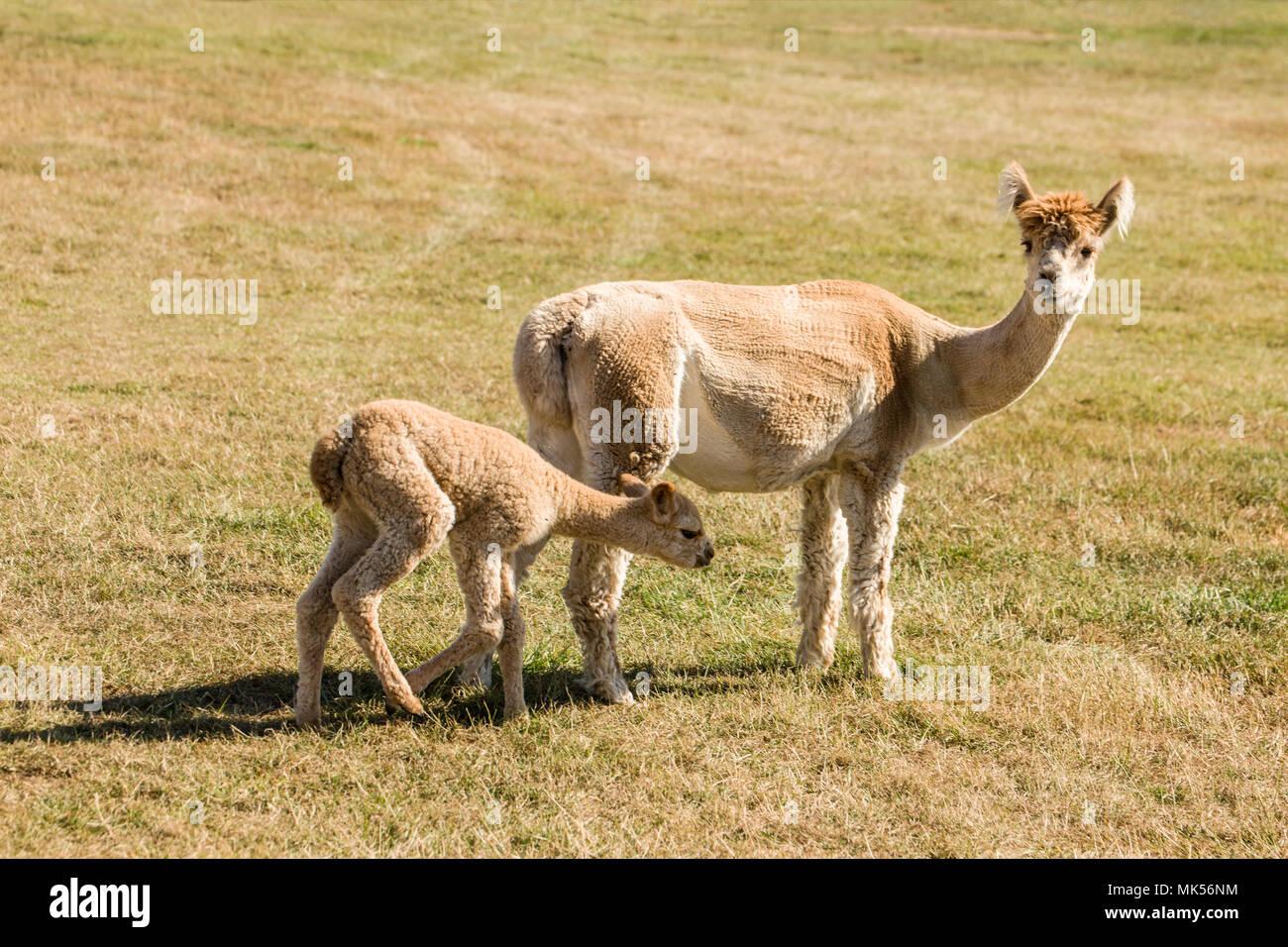 San Juan Islands, Washington, USA.  Freshly sheared mother and baby alpacas. - Stock Image