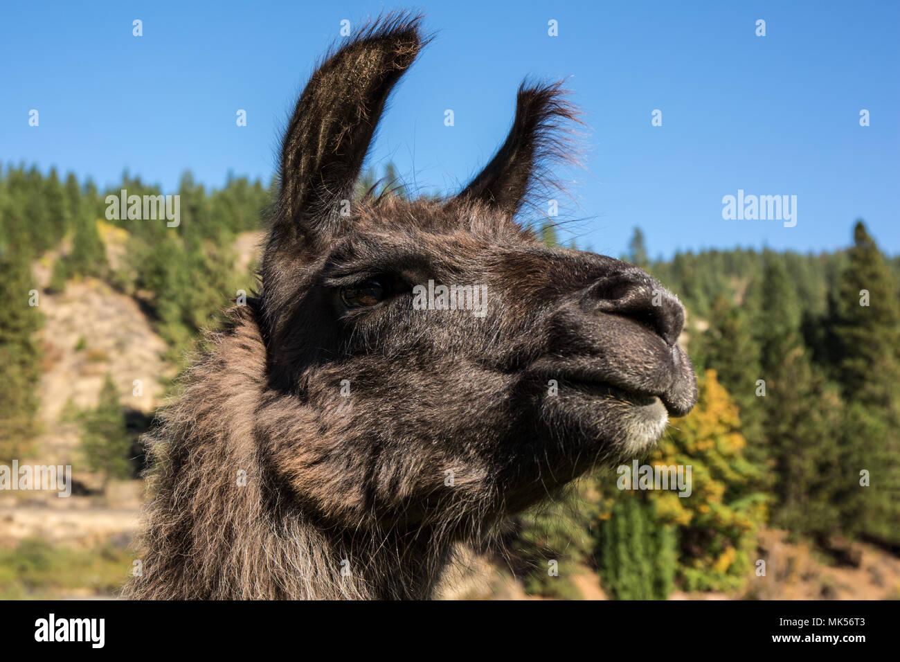 Leavenworth, Washington, USA. LLama portrait. (PR) - Stock Image