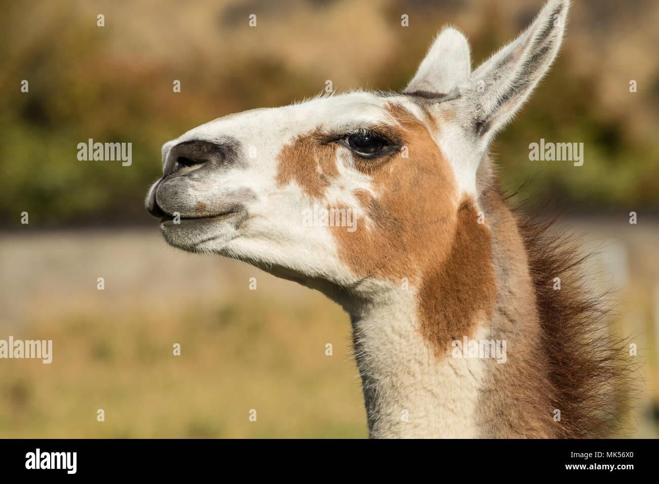 Leavenworth, Washington, USA.  Alpaca portrait at the Purple Crayon Ranch. (PR) - Stock Image