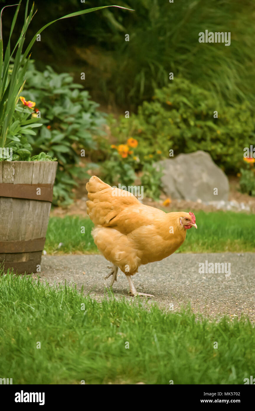 Issaquah, Washington, USA.  Free-ranging Buff Orpington chicken 'Cutie' foraging about a backyard. (PR) - Stock Image