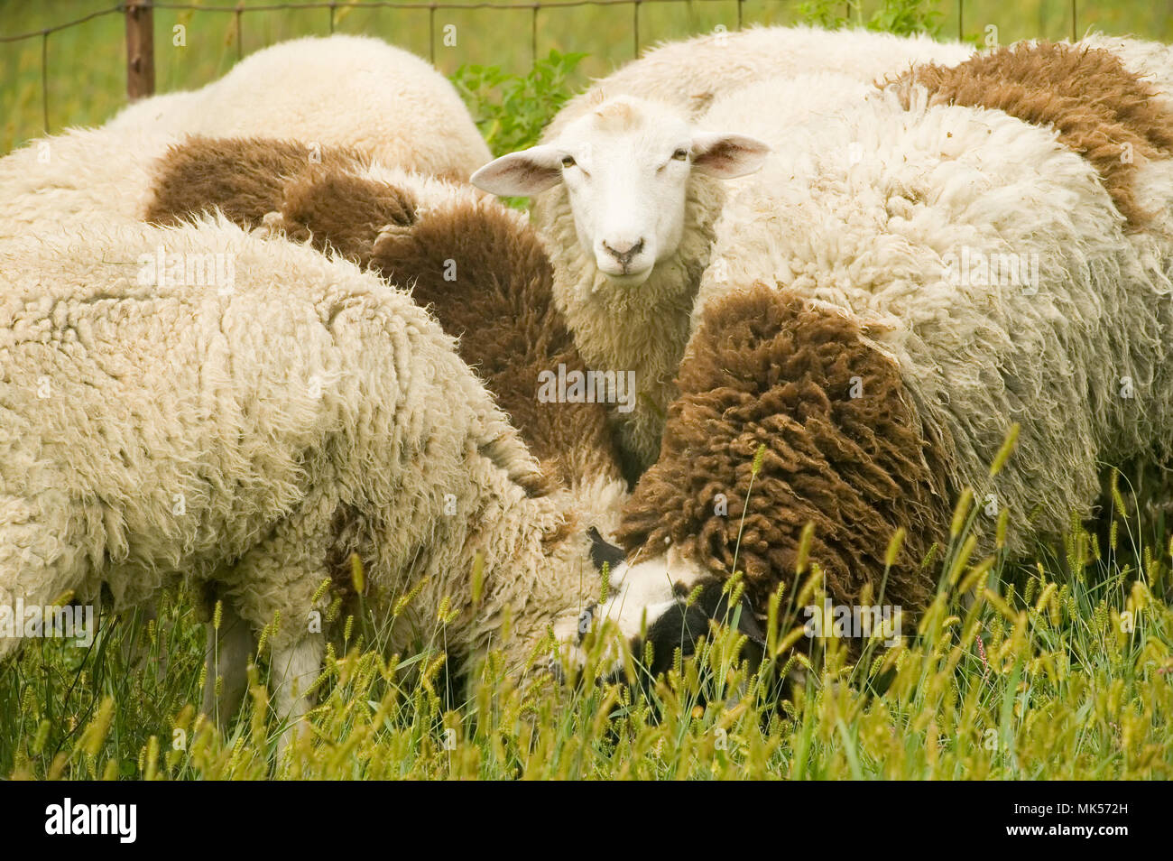 Galena, Illinois, USA.  Dorset sheep flock in a pasture.  One curious sheep is looking up; the rest are eating. - Stock Image