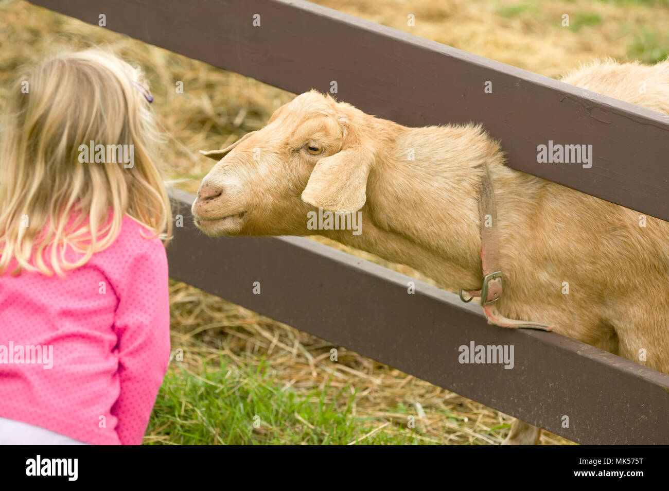 Fall City, Washington, USA.  Young girl looking at a Nubian goat 'Whassup' who is poking his head through the fence. (For editorial use only) - Stock Image