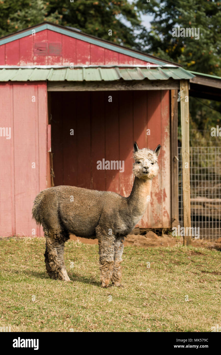 Hood River, Oregon, USA.  Alpaca at the Cascade Alpacas and Foothills Yarn & Fiber farm. (For editorial use only) - Stock Image