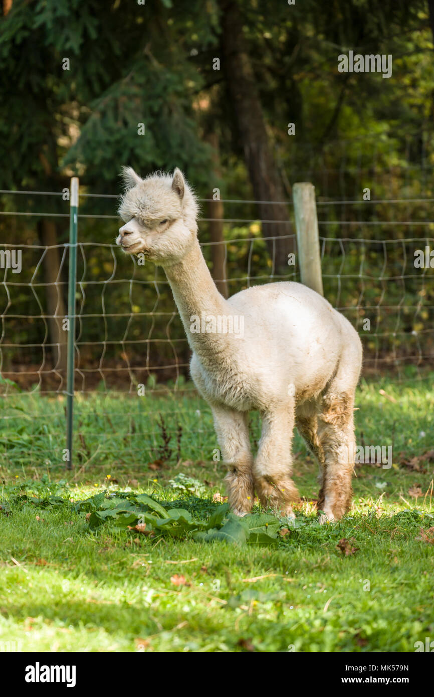 Hood River, Oregon, USA.  Alpaca walking in a pasture. - Stock Image